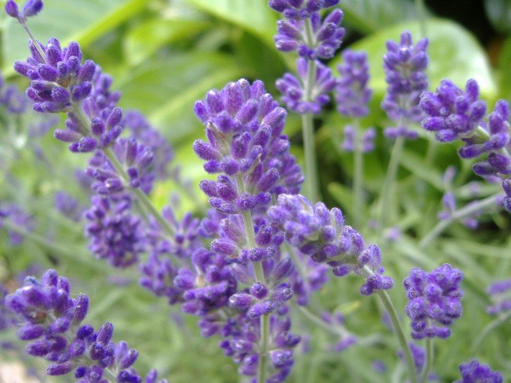 English_Lavender