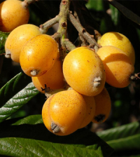 Health-benefits-of-Loquat-200x224