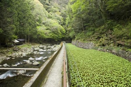 わさび田と渓流